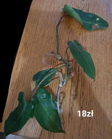 Filodendron czerwieniejący