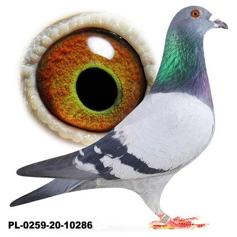 Młode 2021 Para 42 Org Bula-Latacz Olimpiada  gołąb gołębie pocztowe