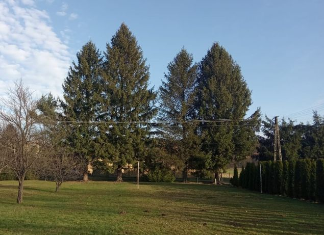 Drzewa na pniu do wycinki