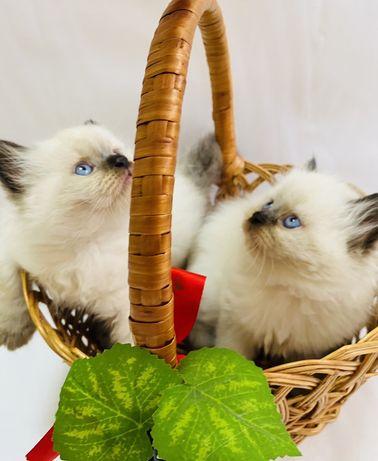 Котята породы Гималайский перс