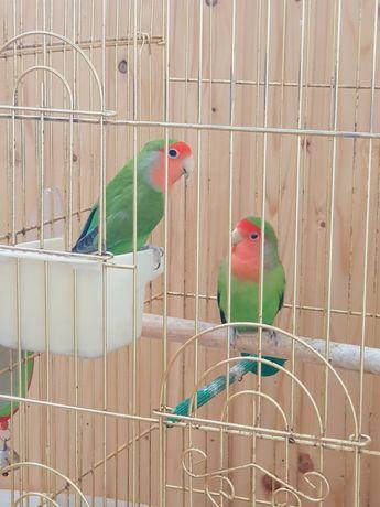 Попугаи мальчик и девочка неразлучники с клеткой
