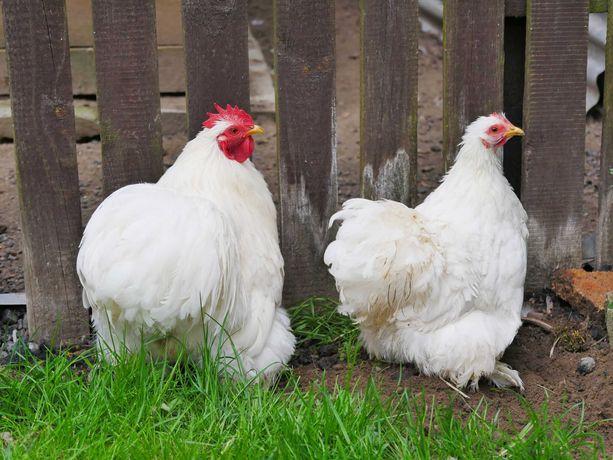 Parka Kochin Miniaturowy kogut i kura, kochin karzełek
