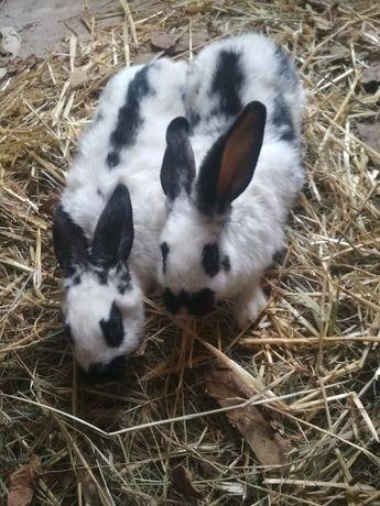 Продам кроликів вік від 2.5 місяців