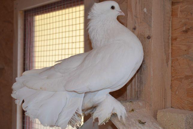 Gołębie ozdobne PARY