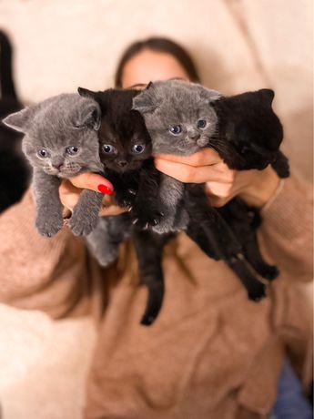 Британські котята