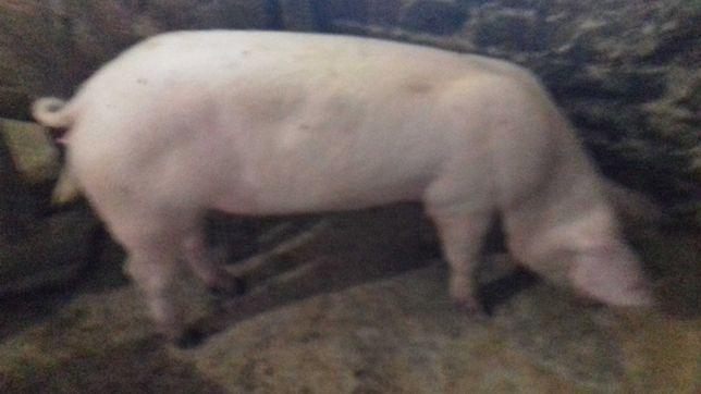 Свині вагою 60-70кг