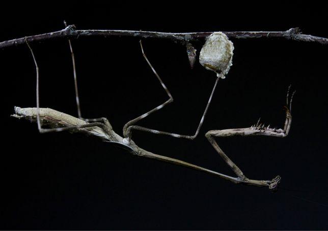 Modliszka Euchomenella heteroptera L4