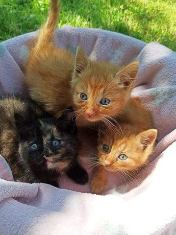 Dwa rude kocurki i jedna kotka do adopcji!