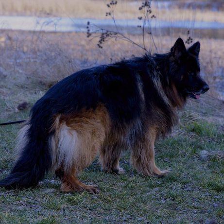 Owczarek Niemiecki Pies z Upr Hodowlanymi Khron
