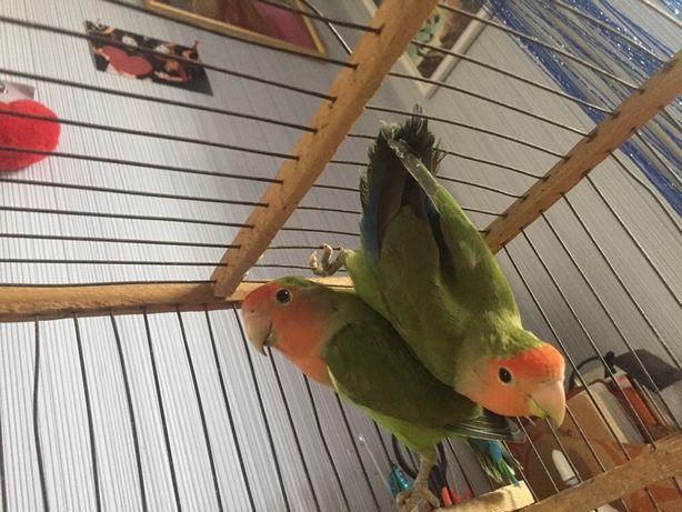 Попугаи неразлучники дешево