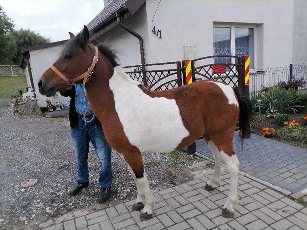 Konie, kuce do sportu lub rekreacji