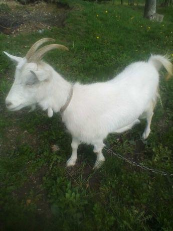 Продам молоду козу.