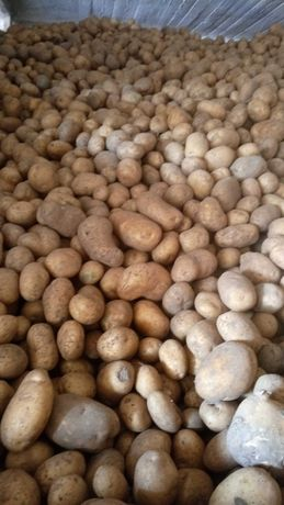 Ziemniaki jadalne DENAR 1zł/kg