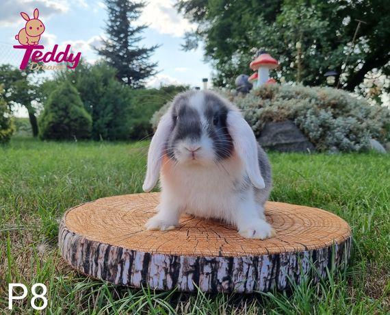 Królik króliczki Mini Lop. Samczyk P8 cena ostateczna