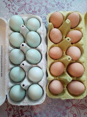 Jaja lęgowe araucany, perliczki i przepiórki