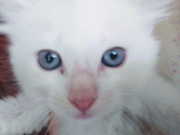Білі кошенята з  голубими очима