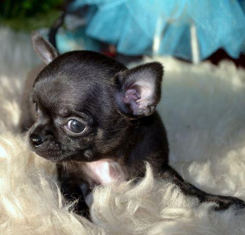 Chihuahua Piękna Sunia Niebieska Blue