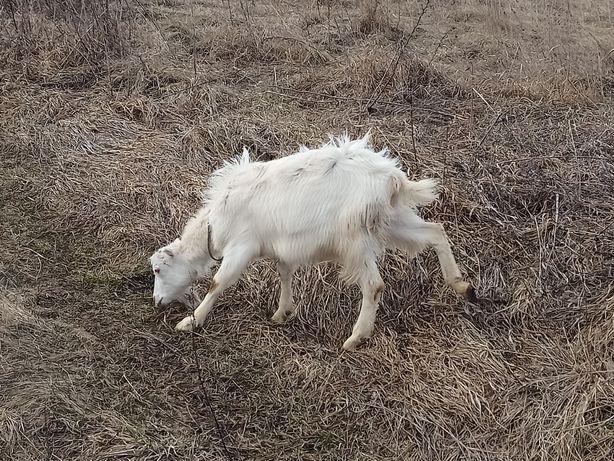 Дойные козы, коза