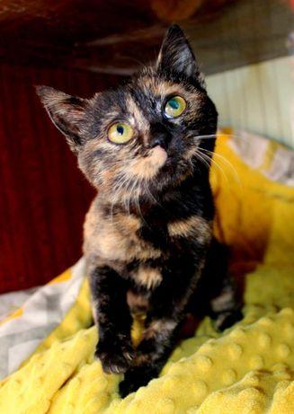 Потішне черепашкове котенятечко ДУЖЕ проситься в родину!