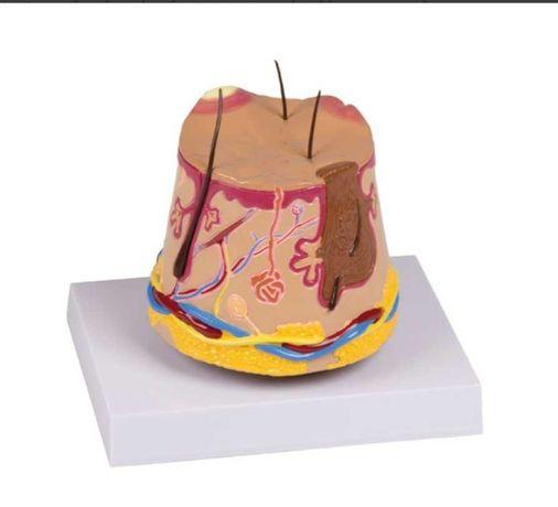 Model anatomiczny skóry trądzikowej do gabinetu dermatologicznego