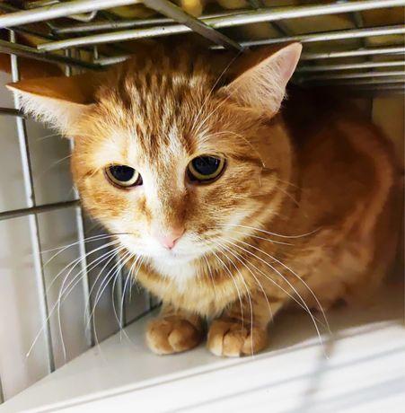 Ласковая кошка Заря, 1 годик, лоток на отлично