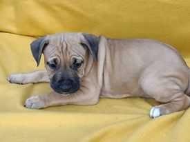 Szczeniaki American Staffordshire Terrier,Piesek