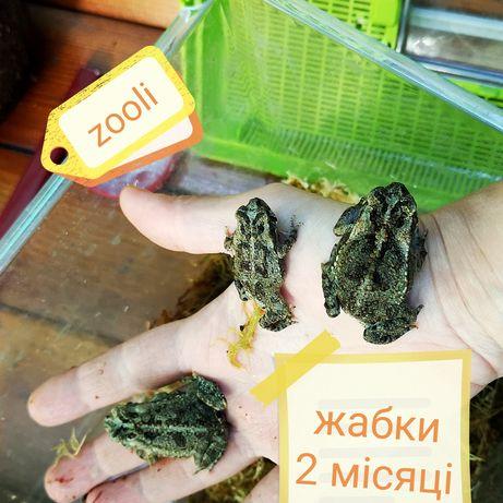 жаба ага, діти швидко ростуть, безполі