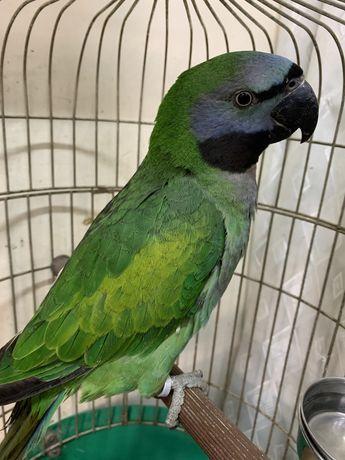 Птенец выкормыш китайский кольчатый попугай