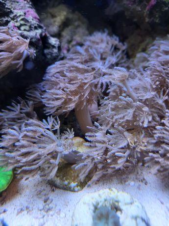 Xenia akwarium morskie