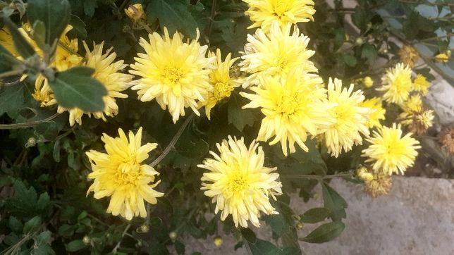 МНОГОЛЕТНИЕ садовые цветы ДОМ. саженцы малины