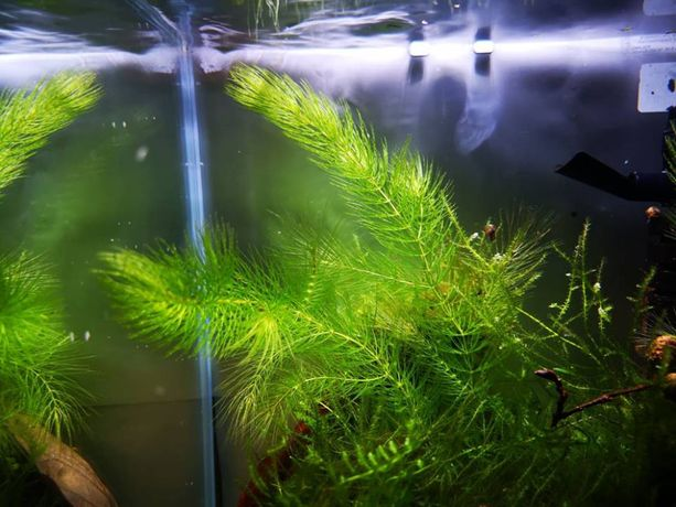 Rogatek sztywny roślina rośliny akwariowe