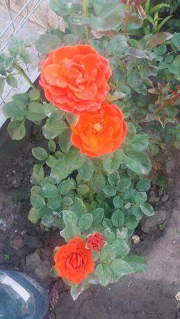 Саженец розы Эль торо Собственнокорни