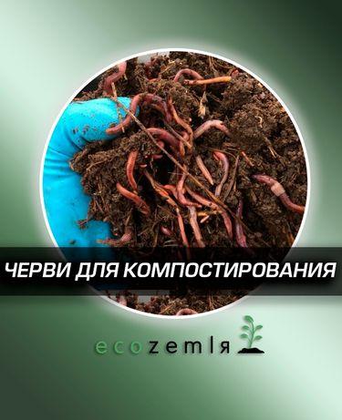 Черви для удобрения биогумуса. Семья старатель аналог калифорнийским