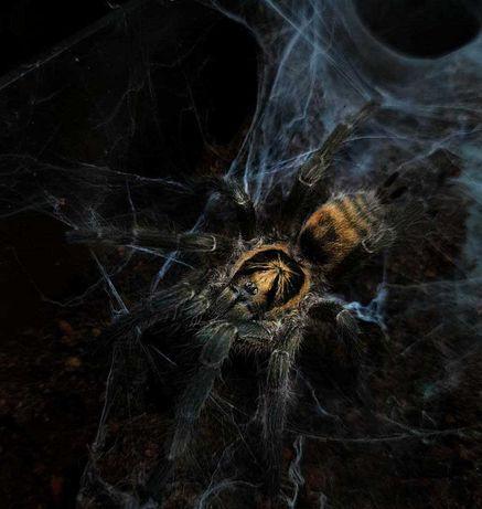 Подросток самка паука птицееда Neoholothele incei по Украине животное