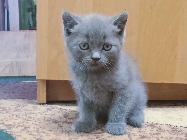 Котята Британцы Котёнок