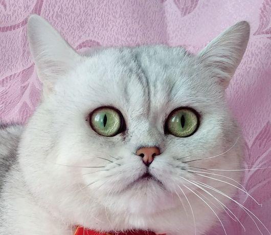 Шотландский кот. Вязка