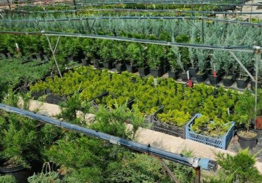Питомник хвойных растений. Большой выбор.Доступны цены.Опт Розница.