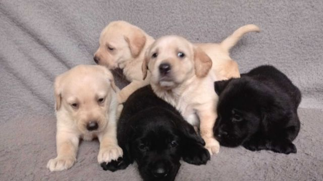 Labrador z RODOWODEM szczeniak szczeniaki labradory DO REZERWACJI