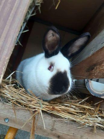 Piękna Samica Kalifornijska Czarna KC królik/króliki