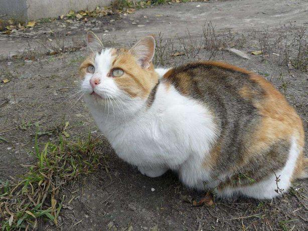 отдам кошку трехцветку, 1 год