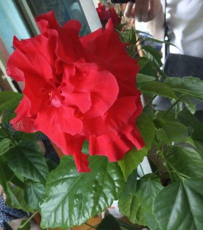 Китайская роза , гибискус, комнатный цветок