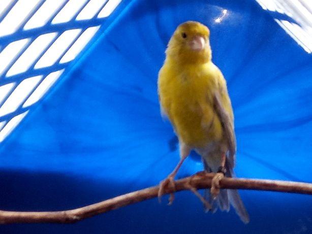 Kanarek agat żółty samiec