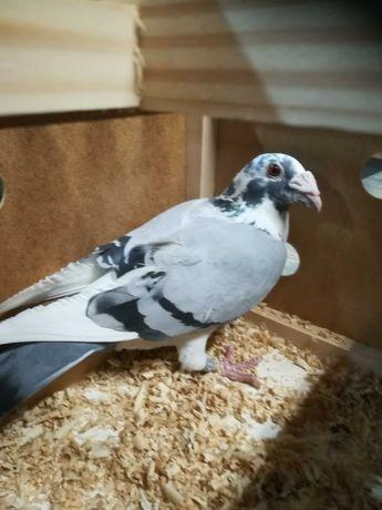 Sprzedam gołębia staropolskiego