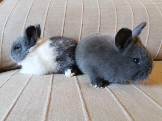 KIT completo coelhos anões mini holandês e minitoy super meigos