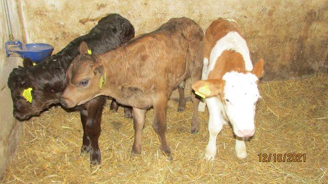 Byczki 3 szt.mm polskie mięsne sprzedam