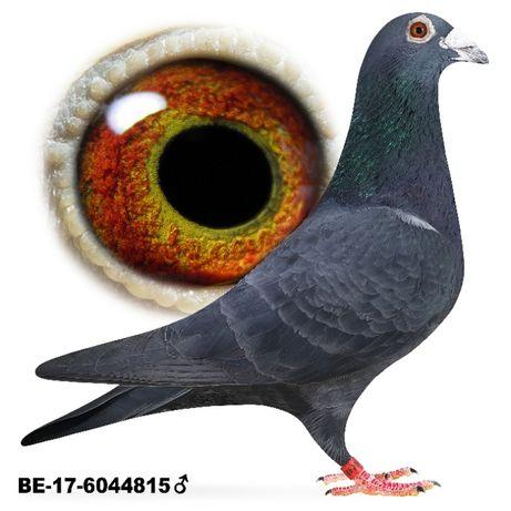 Młode 2021 para 31 Inbred Olimp Maja x Houben gołąb gołębie pocztowe