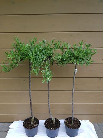 Prunus pumila var. depressa śliwa karłowa odm. płożąca
