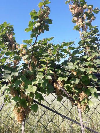 Jagoda borówka dereń porzeczka agrest aronia malina winogrona minikiwi