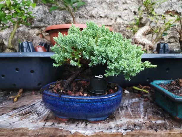 "Vendo Bonsai de ""Juniperus Procumbens Nana"""