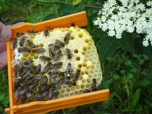 Продуктивные Уже в мае Пчелиные матки От племенных маток СARNICA